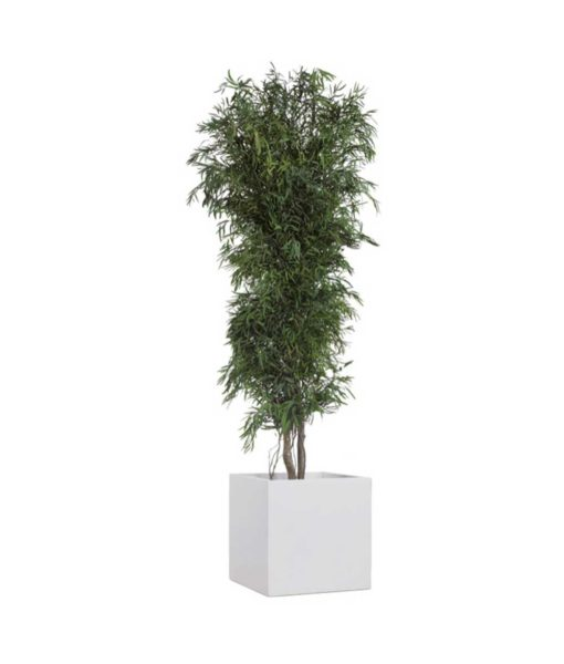 Eucalyptus Nicoly, slim tree nicoly, preserved tree, stabilized plants, green verticals
