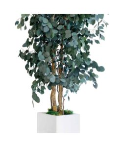Eucalyptus populus, slim tree populus, preserved tree, stabilized plants, green verticals