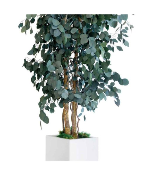 Eucalyptus populus, slim tree populus, preserved tree, stabilized plants, green verticals