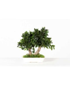bonsai tree, bonsai pittosporum, preserved tree, pittosporum tenuifolium, preserved foliage