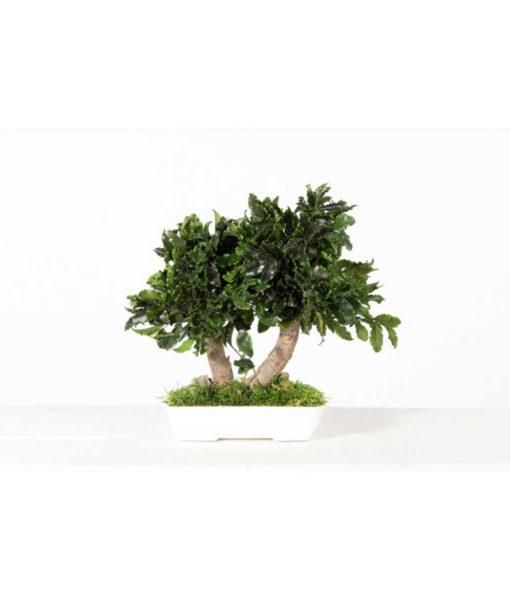bonsai tree, bonsai pittosporum, preserved tree, pittosporum tenuifolium, preserved foliage