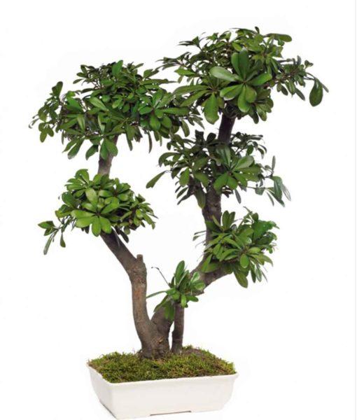 bonsai tree, bonsai tobira, preserved tree, pittosporum obira, preserved foliage
