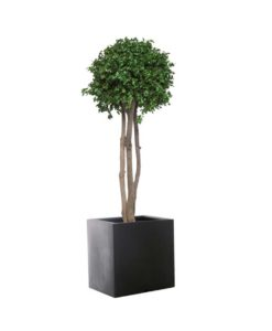 pittosporum tenuifolium, crown tree, preserved tree, stabilized plants, green verticals