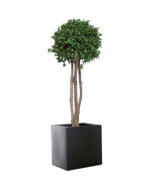 pittosporum tenuifolium, crown tree, preserved tree, stabilized plants, green verticals