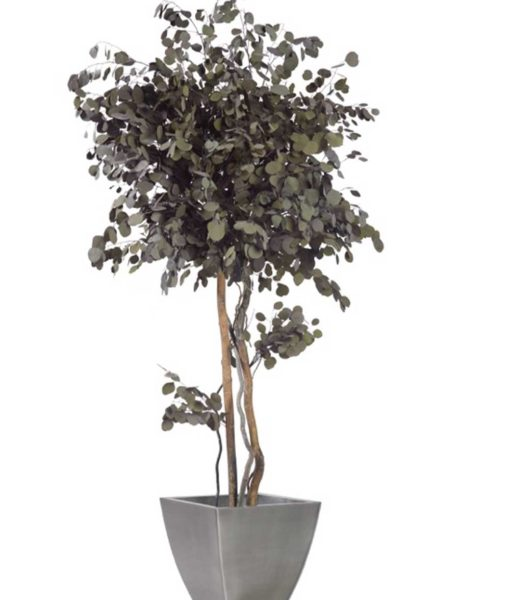 Eucalyptus populus, crown tree populus, preserved tree, stabilized plants, green verticals