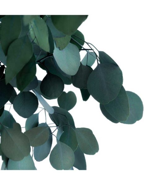 Eucalyptus populus, crown tree populus, preserved tree, stabilized plants, green verticals