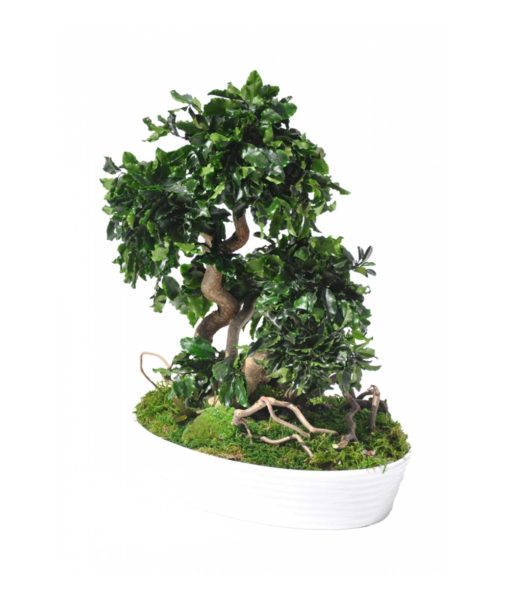 bonsai tree, Bonsai Pittosporum, preserved tree, stabilized plants, preserved foliage
