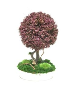bonsai tree, Erica bonsai, preserved tree, stabilized plants, preserved foliage
