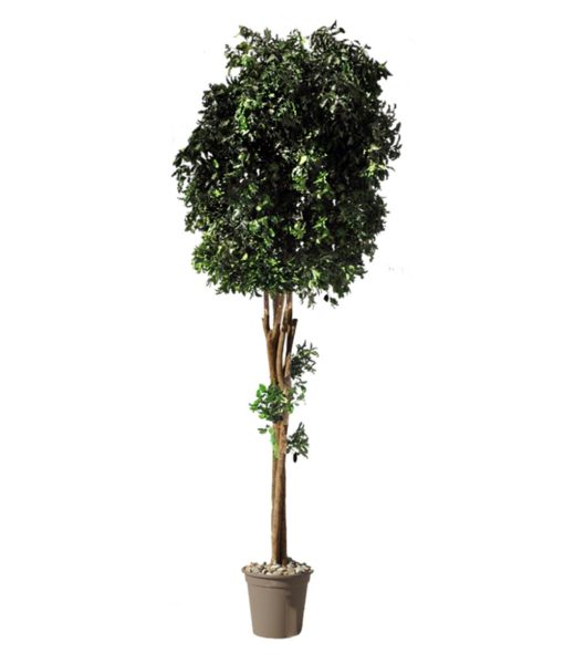 Pittosporum Tenufolium, Crown tree, black matipo, preserved tree, stabilized plants, green verticals