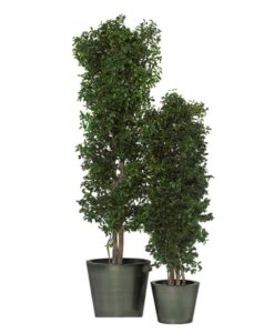 Pittosporum Tenuifolium, black matipo, preserved tree, stabilized plants, green verticals