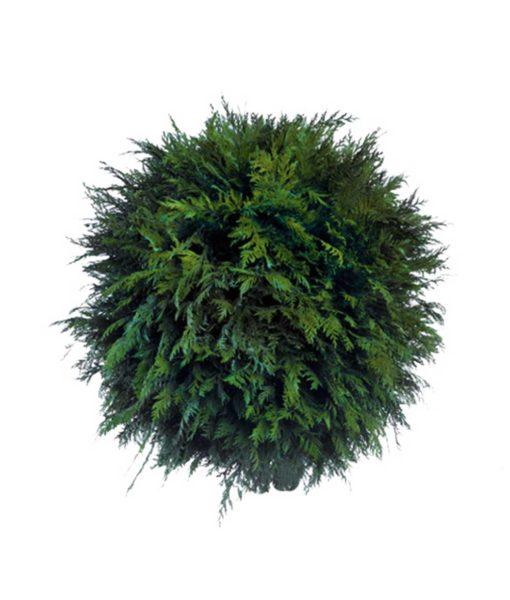 Thuja, preserved deco sphere, cedar ball, stabilized plants, preserved foliage