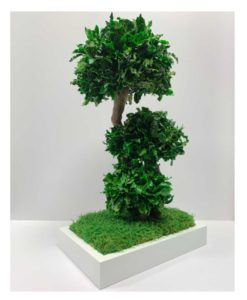 bonsai tree, Bonsai Pittosporum, preserved tree, stabilized plants, preserved foliage