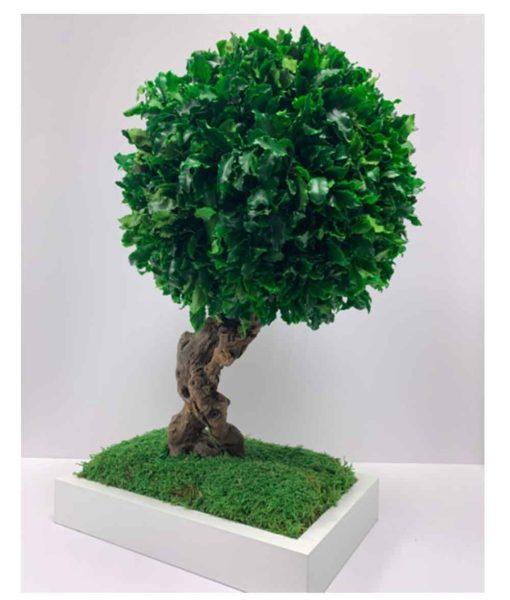 bonsai tree, Bonsai Tenuifolium, preserved tree, stabilized plants, preserved foliage