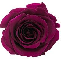 Cherry Rose