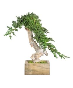 bonsai tree, bonsai juniperus, preserved tree, juniperus procumbens, preserved foliage