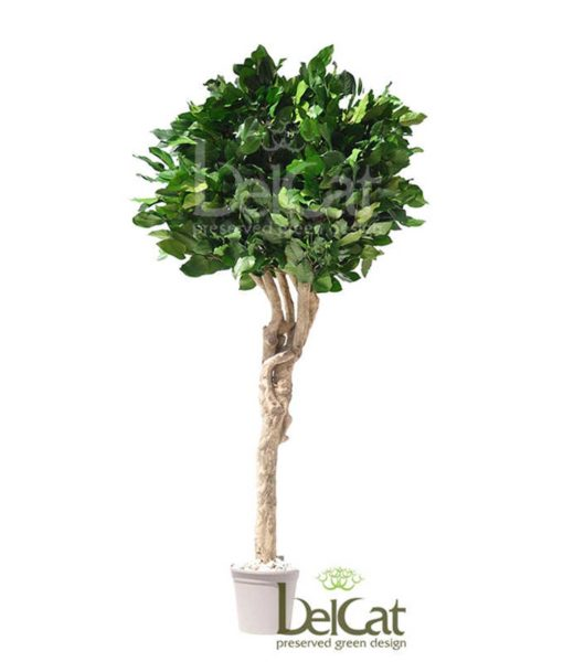 Salal Mediterranean crown tree, Gaultheria Shallon, preserved tree, stabilized plants, green verticals