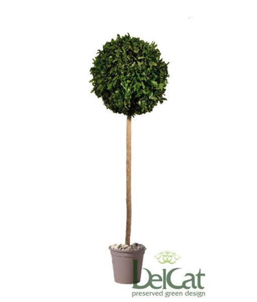 Tenuifolium, preserved tenuifolium ball, preserved topiary, stabilized plants, green verticals