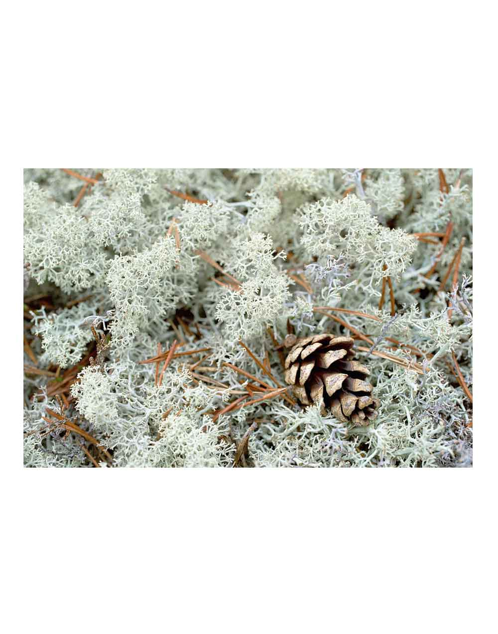 reindeer moss, lichen, polar moss, moss wall art, interior design