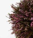 kontor202_preserved_bonsai_erica_3_web