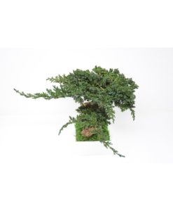 bonsai tree, Bonsai Juniperus, preserved tree, stabilized plants, preserved foliage