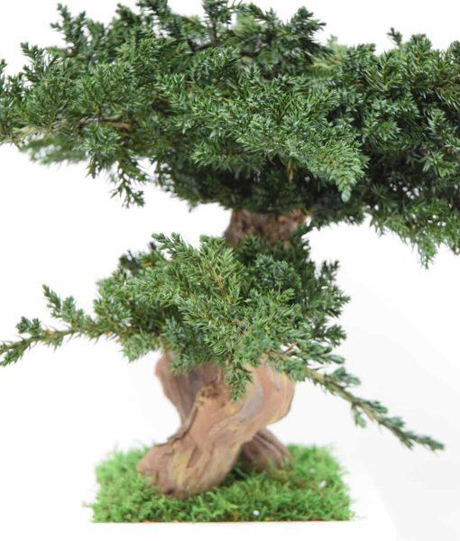 bonsai tree, Bonsai Juniperus, preserved tree, stabilized plants, preserved foliage