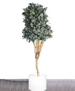 cinerea mediterranea, eucalyptus, silver dollar tree, preserved tree, stabilized plants, green verticals