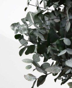 cinerea mediterranea, eucalyptus, silver dollar tree, preserved tree, stabilized plants, green verticals