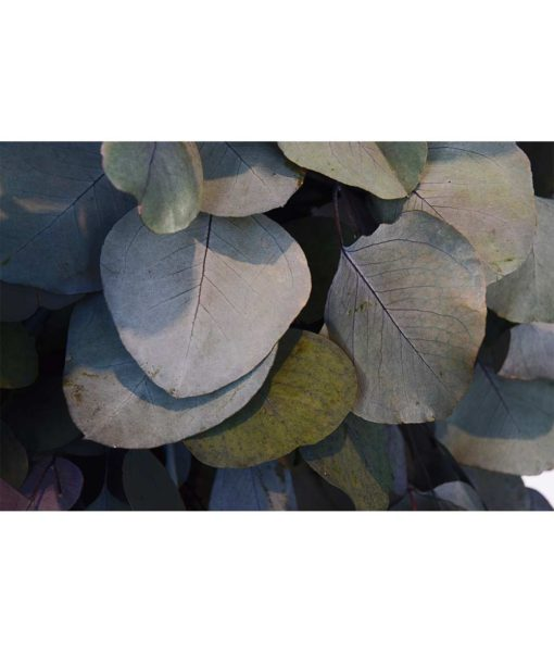 Eucalyptus Populus, Eucalyptus tree, preserved tree, stabilized plants, green verticals