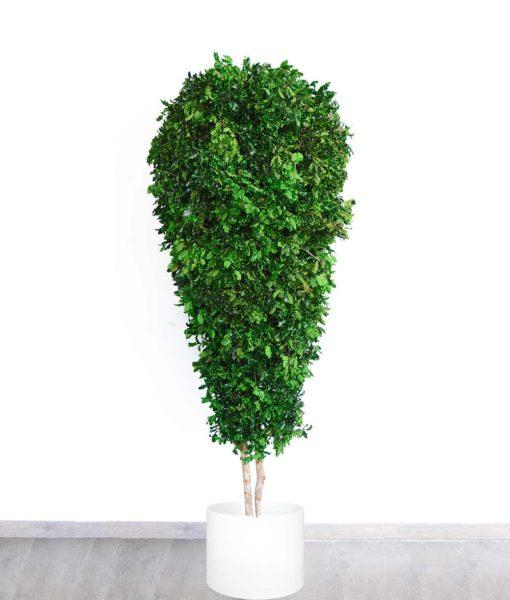 Pittosporum Tenuifolium, black matipo, preserved tree, stabilized plants, green verticals