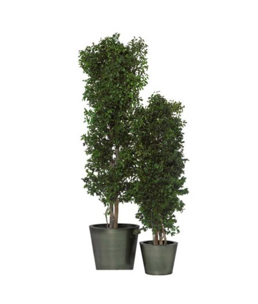 pittosporum tenuifolium, slim tree, preserved tree, stabilized plants, green verticals