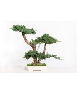 bonsai tree, bonsai juniperus, preserved tree, juniperus procumbens, preserved foliage