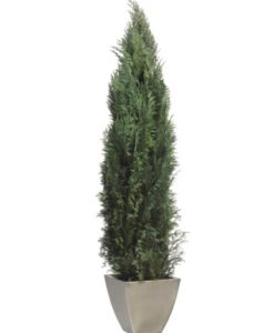 conifer tree, cypress tree, preserved tree, conifer columnaris, preserved foliage