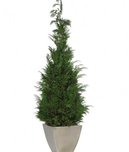 conifer tree, cypress tree, preserved tree, conifer stardust, preserved foliage
