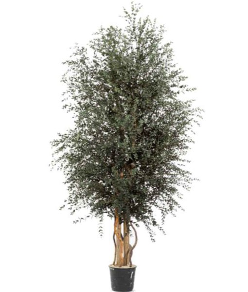 Eucalyptus parvifolia, wide tree parvifolia, preserved tree, stabilized plants, green verticals