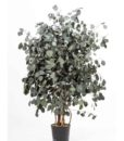 Eucalyptus populus, wide tree populus, preserved tree, stabilized plants, green verticals