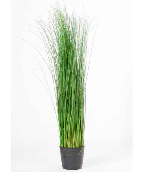 Oriental Ginerium, preserved plants, stabilized plants, green verticals