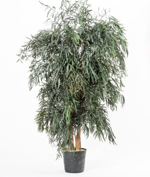 Eucalyptus nicoly, wide tree nicoly, preserved tree, stabilized plants, green verticals