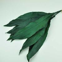 Aspidistra Leaves