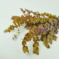 Eucalyptus Stuartiana Autumnal