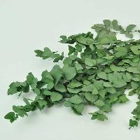 Eucalyptus Stuartiana Green