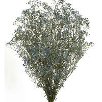 Gypsophila Blue