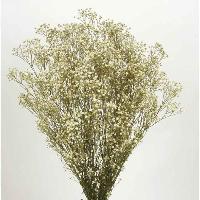 Gypsophila Natural