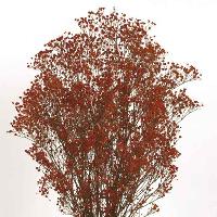 Gypsophila Red