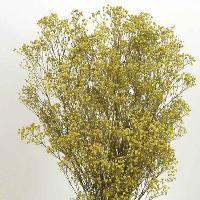 Gypsophila Yellow