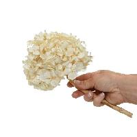 Hydrangea Ivory