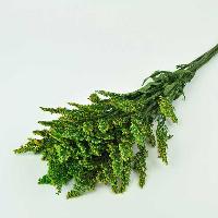 Solidago Green