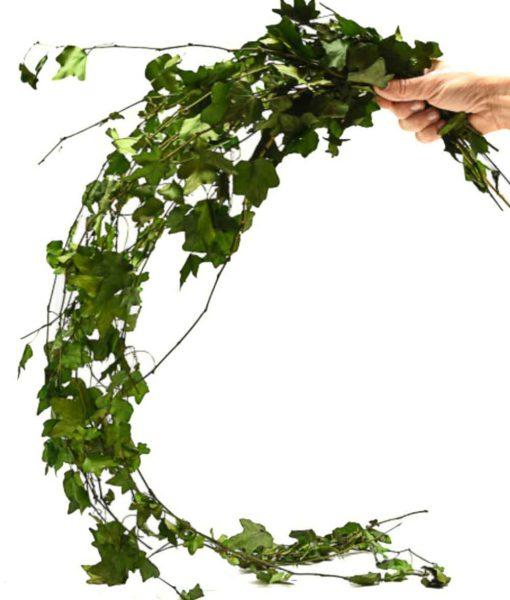 preserved green, preserved foliage, preserved ivy, preserved hedera, preserved helix